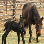 filly friesian stands next to bay mother quarterhorse