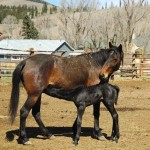 black baby horse nurses while bay mother nuzzles