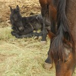 baby horse sleeps while bay mother eats