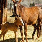 palomino colt with white blaze stands close to brown mother under chin