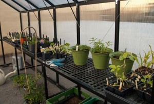 potted plants and herbs sprout inside greenhouse