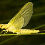 golden mayfly sits on a stem near goose creek
