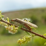 a salmonfly crawls up a willow branch on fly fishing guest ranch