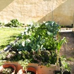 a raised bed full of cauliflower, arugula, kale, chard, spinach, and many salad and micro greens