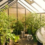 tomato plants reach to over five feet inside ranch greenhouse