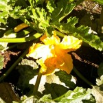 a zucchini blossom in the 4UR garden, next to yellow squash