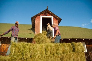 team of ranch hands stack hay harvest into historic ranch barn