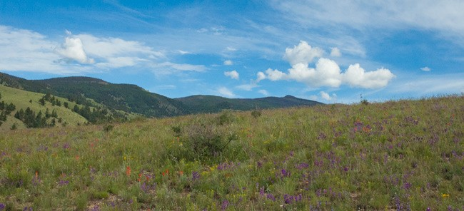 foreground of flowery mesa with dark green mountains and blue sky in background