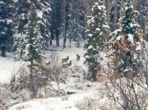 Elk hide out in the trees near 4UR Ranch