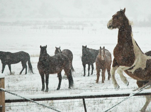 on a snowy morning a paint horse rears up while horses in background look on