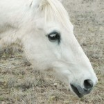 close profile shot of a gray american paint horse on a spring day in Colorado