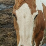 sorrel and white paint horse looks to camera from his pen on a rocky mountain guest ranch