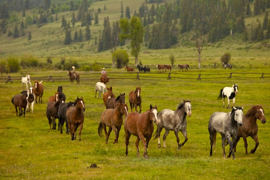 Horses running in from green pasture with wranglers in the background.