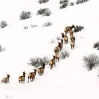 Elk running uphill in winter, wildlife to view