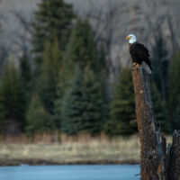 Bald eagle perched to hunt, wildlife to view