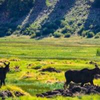 Moose walking across pasture, wildlife to view